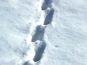 1149116_53175467_Snow_Footprints_royalty_fee_stock_xchng_300
