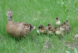 duck-with-ducklings-1543709